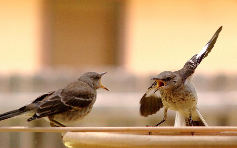 1024px-Mocking_Bird_Argument